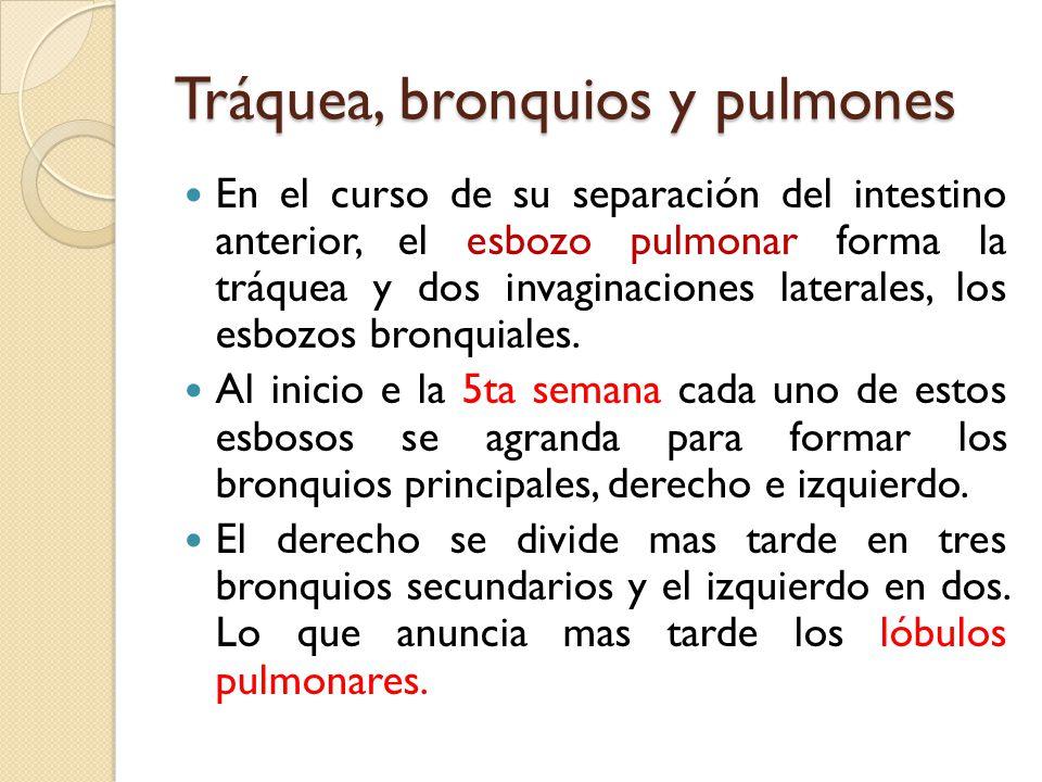 Tráquea, bronquios y pulmones
