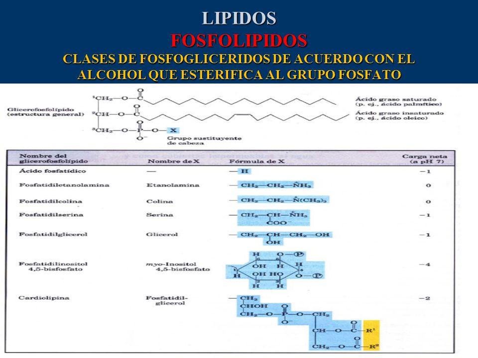 LIPIDOS FOSFOLIPIDOS CLASES DE FOSFOGLICERIDOS DE ACUERDO CON EL ALCOHOL QUE ESTERIFICA AL GRUPO FOSFATO