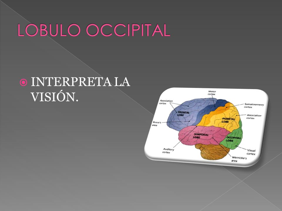 LOBULO OCCIPITAL INTERPRETA LA VISIÓN.