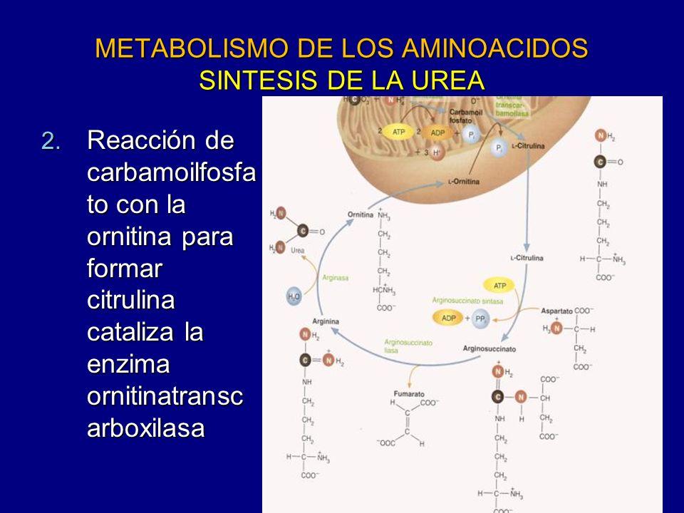 METABOLISMO DE LOS AMINOACIDOS SINTESIS DE LA UREA