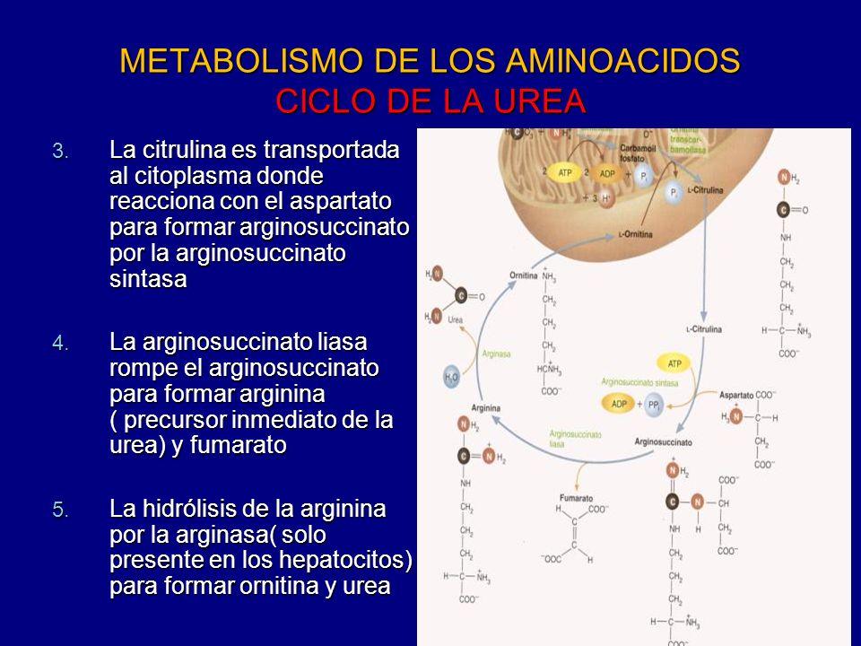 METABOLISMO DE LOS AMINOACIDOS CICLO DE LA UREA