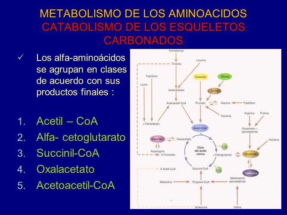 METABOLISMO DE LOS AMINOACIDOS CATABOLISMO DE LOS ESQUELETOS CARBONADOS
