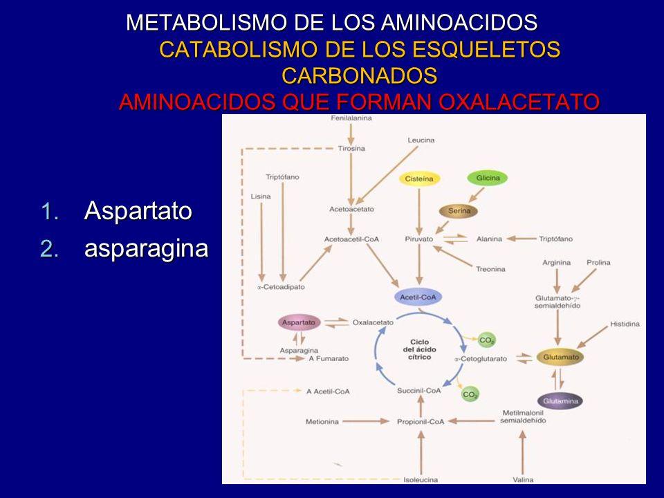 METABOLISMO DE LOS AMINOACIDOS CATABOLISMO DE LOS ESQUELETOS CARBONADOS AMINOACIDOS QUE FORMAN OXALACETATO