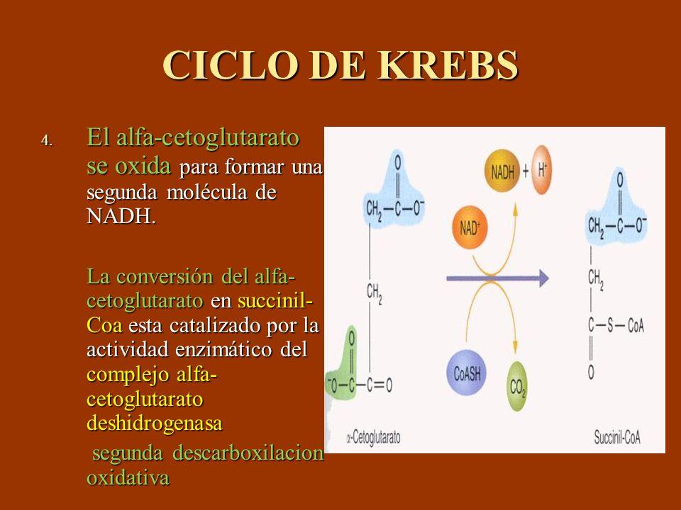 CICLO DE KREBS El alfa-cetoglutarato se oxida para formar una segunda molécula de NADH.