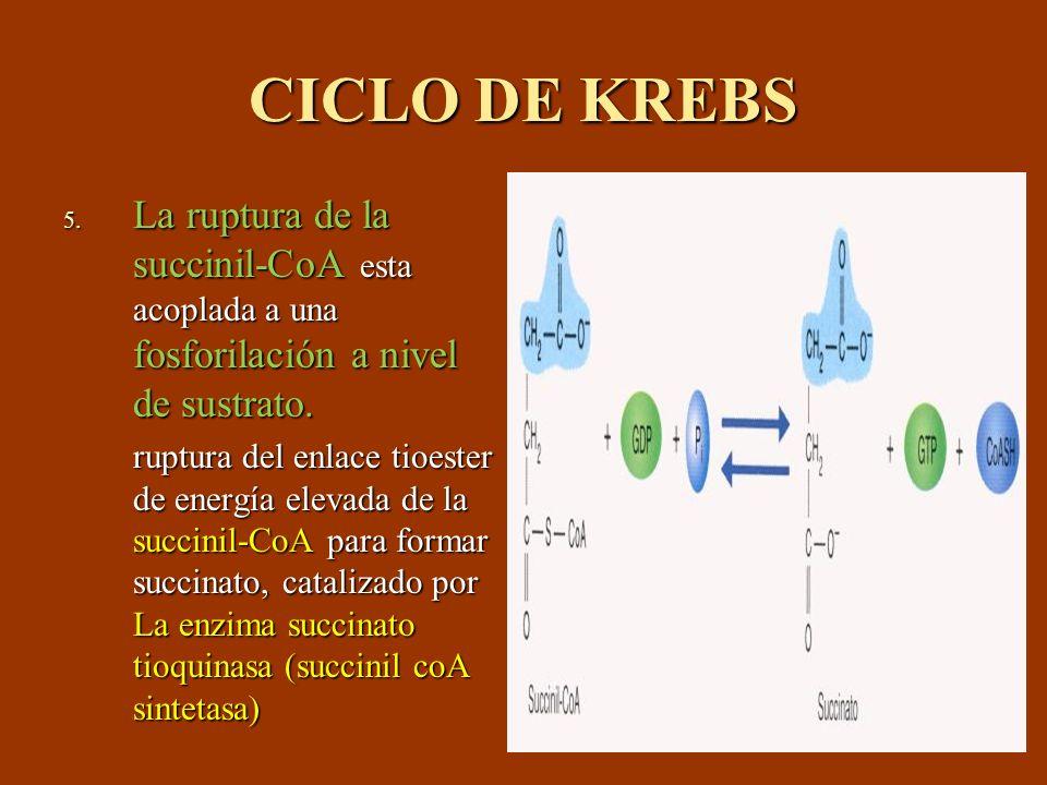 CICLO DE KREBS La ruptura de la succinil-CoA esta acoplada a una fosforilación a nivel de sustrato.