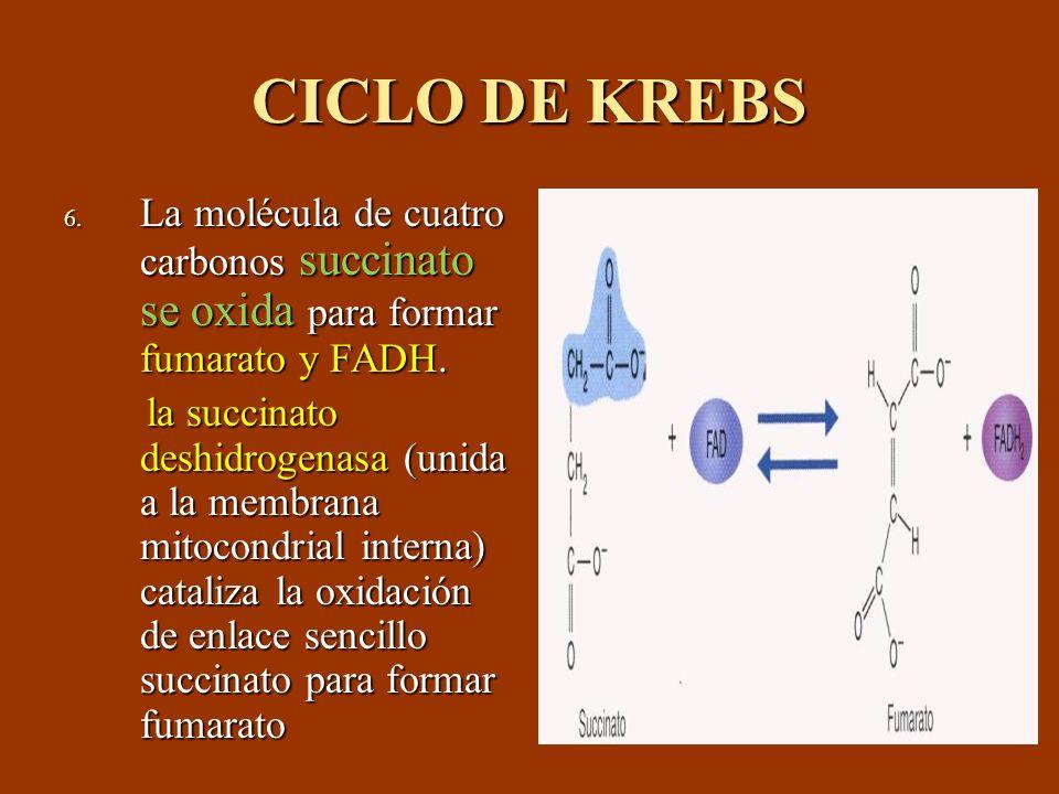 CICLO DE KREBS La molécula de cuatro carbonos succinato se oxida para formar fumarato y FADH.