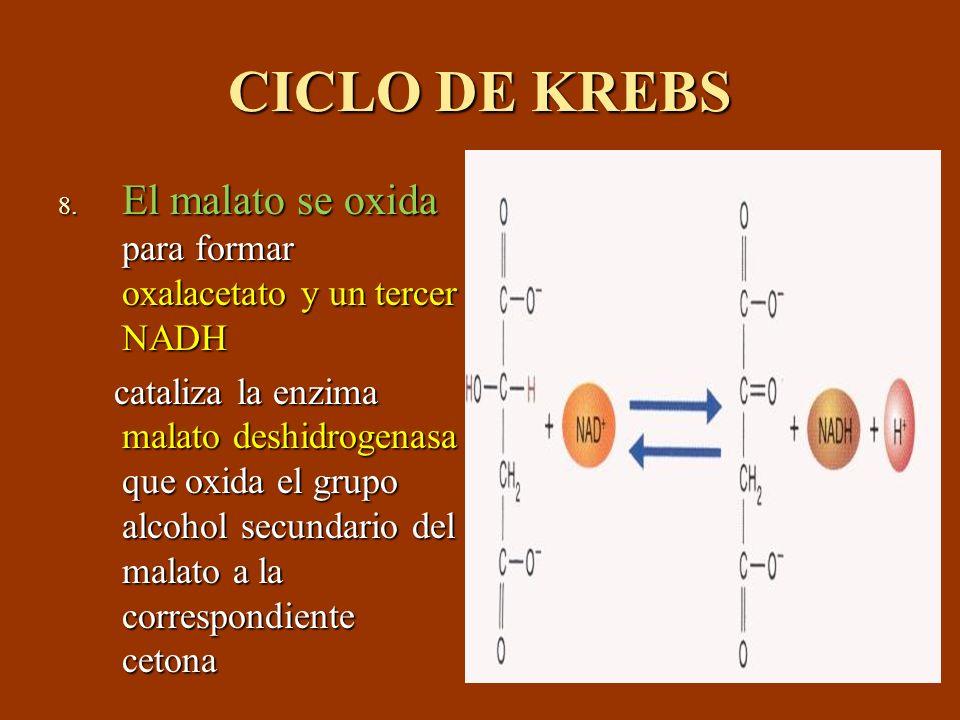 CICLO DE KREBS El malato se oxida para formar oxalacetato y un tercer NADH.