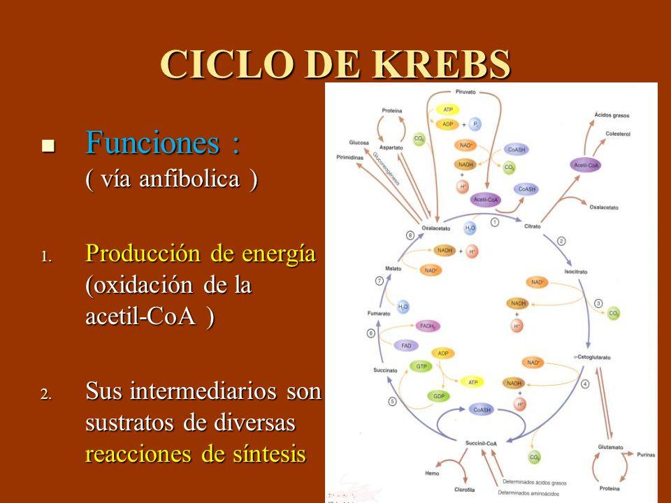 CICLO DE KREBS Funciones : ( vía anfibolica )