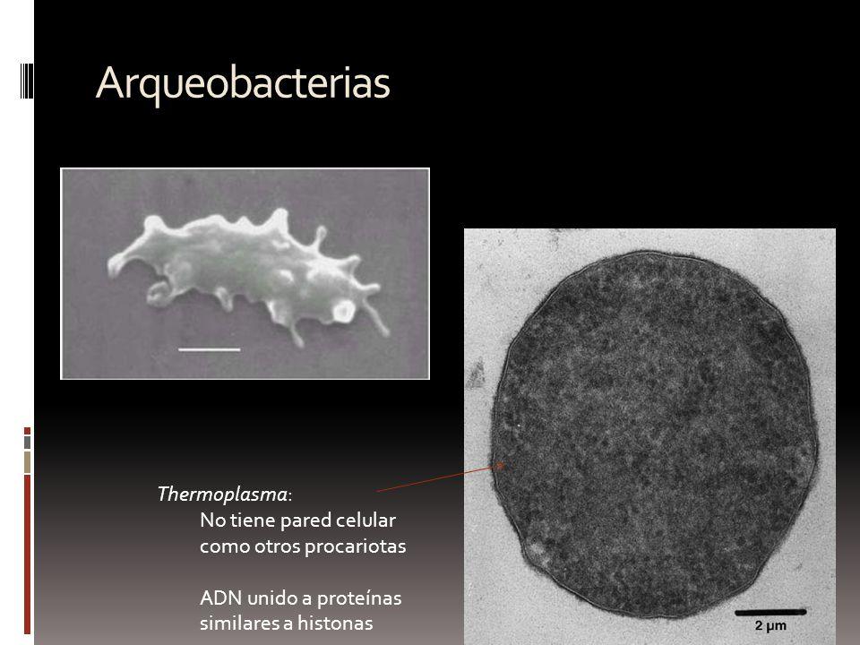 Arqueobacterias Thermoplasma: