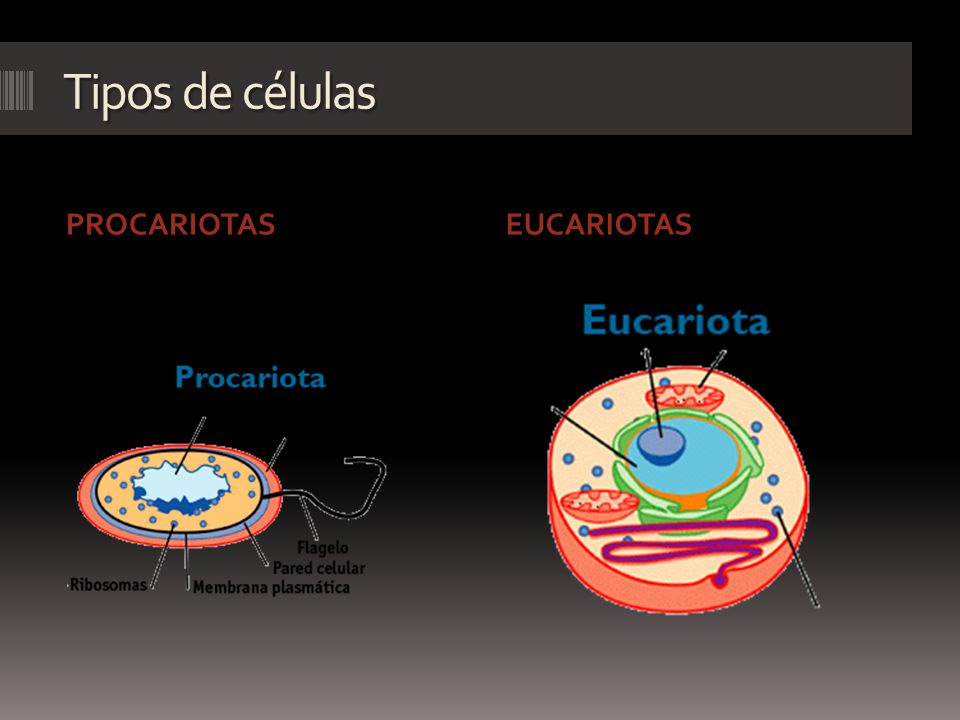Tipos de células PROCARIOTAS EUCARIOTAS