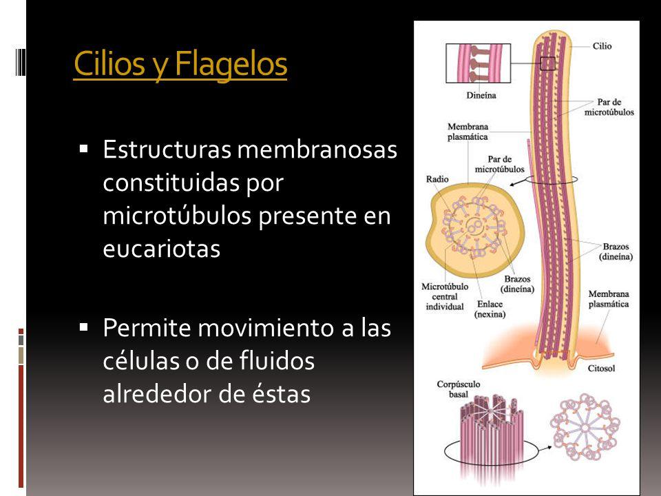 Cilios y Flagelos Estructuras membranosas constituidas por microtúbulos presente en eucariotas.