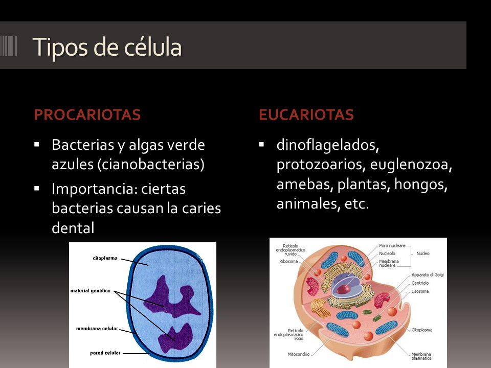 Tipos de célula PROCARIOTAS EUCARIOTAS