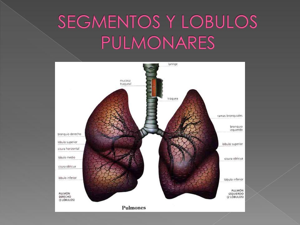 SEGMENTOS Y LOBULOS PULMONARES