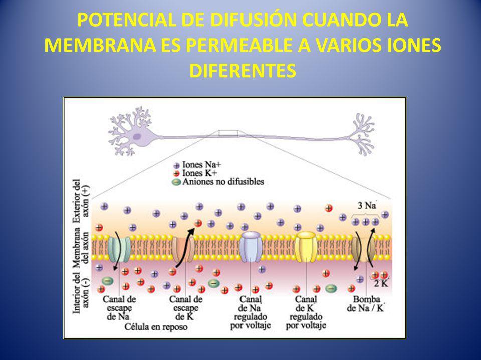 POTENCIAL DE DIFUSIÓN CUANDO LA MEMBRANA ES PERMEABLE A VARIOS IONES DIFERENTES