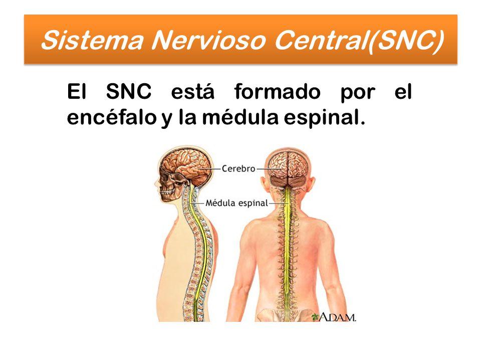 Sistema Nervioso Central(SNC)
