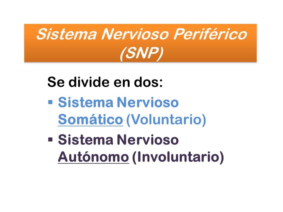 Sistema Nervioso Periférico (SNP)