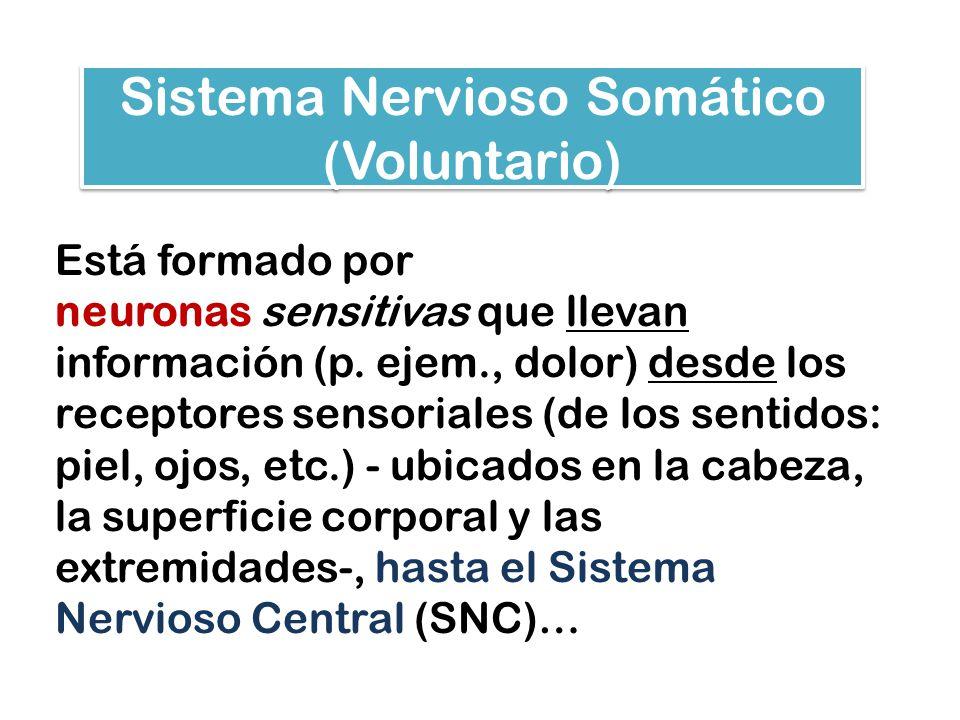 Sistema Nervioso Somático (Voluntario)