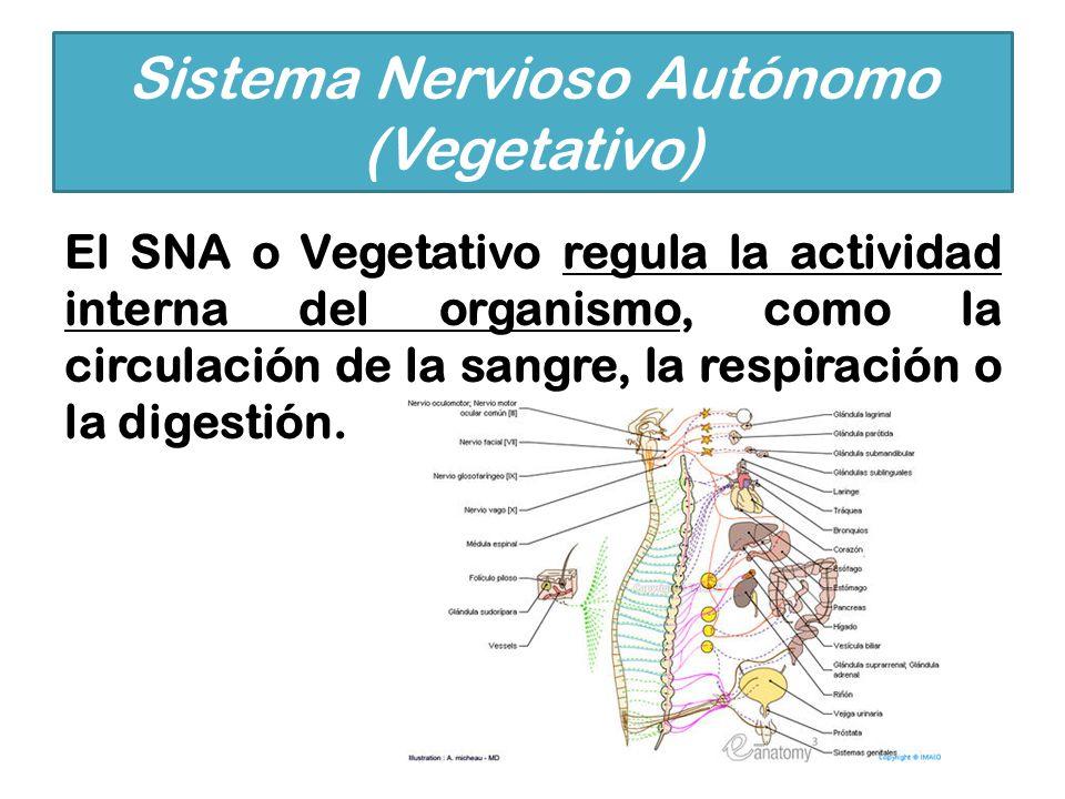 Sistema Nervioso Autónomo (Vegetativo)