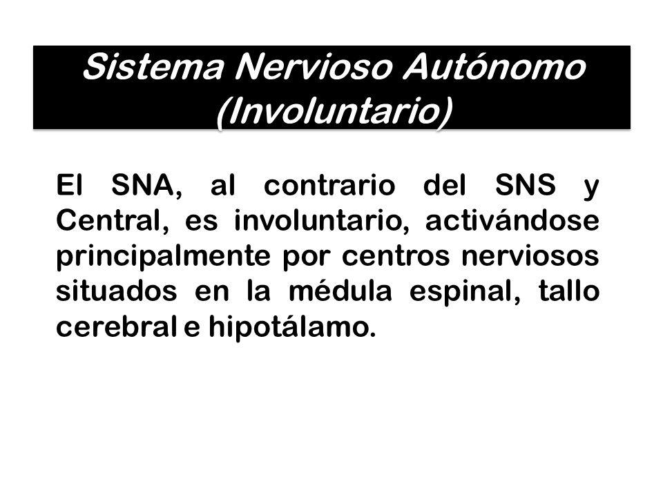 Sistema Nervioso Autónomo (Involuntario)