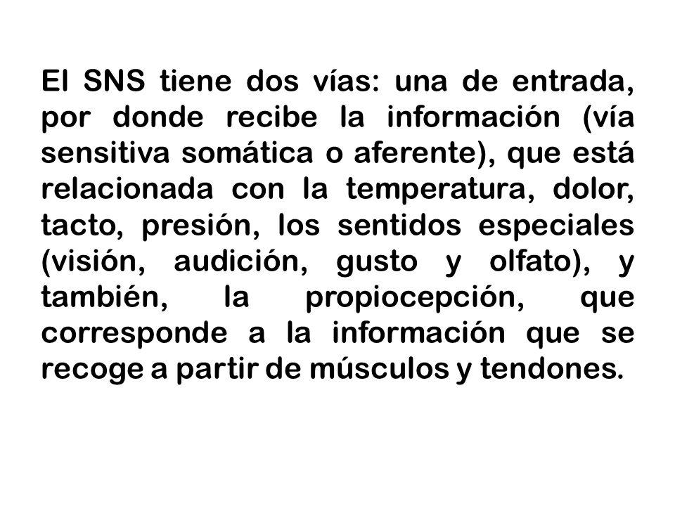 El SNS tiene dos vías: una de entrada, por donde recibe la información (vía sensitiva somática o aferente), que está relacionada con la temperatura, dolor, tacto, presión, los sentidos especiales (visión, audición, gusto y olfato), y también, la propiocepción, que corresponde a la información que se recoge a partir de músculos y tendones.