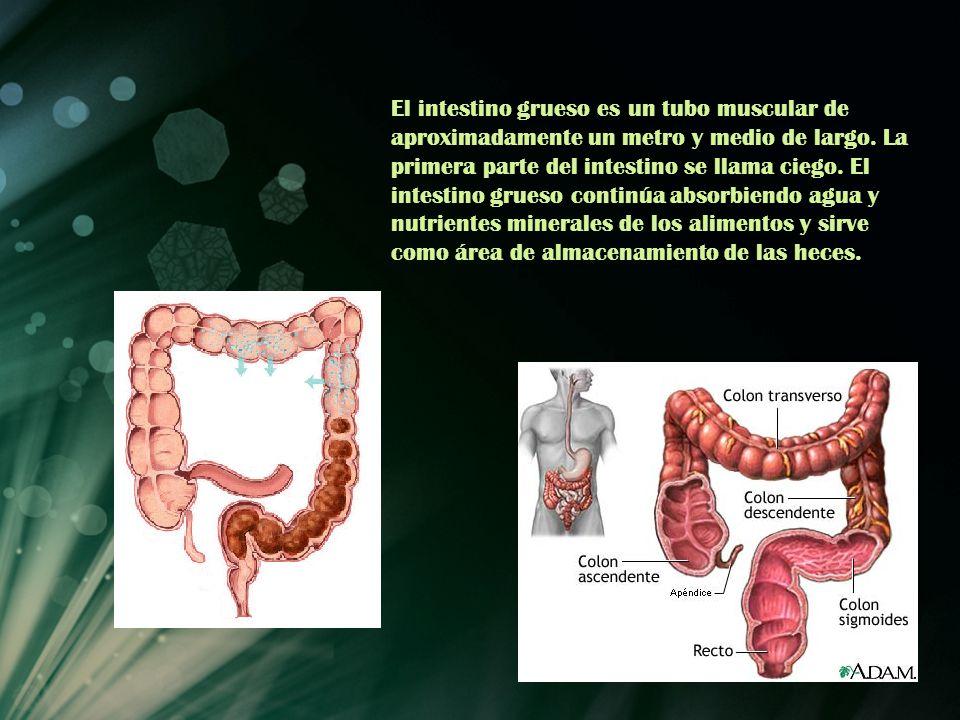 El intestino grueso es un tubo muscular de aproximadamente un metro y medio de largo.
