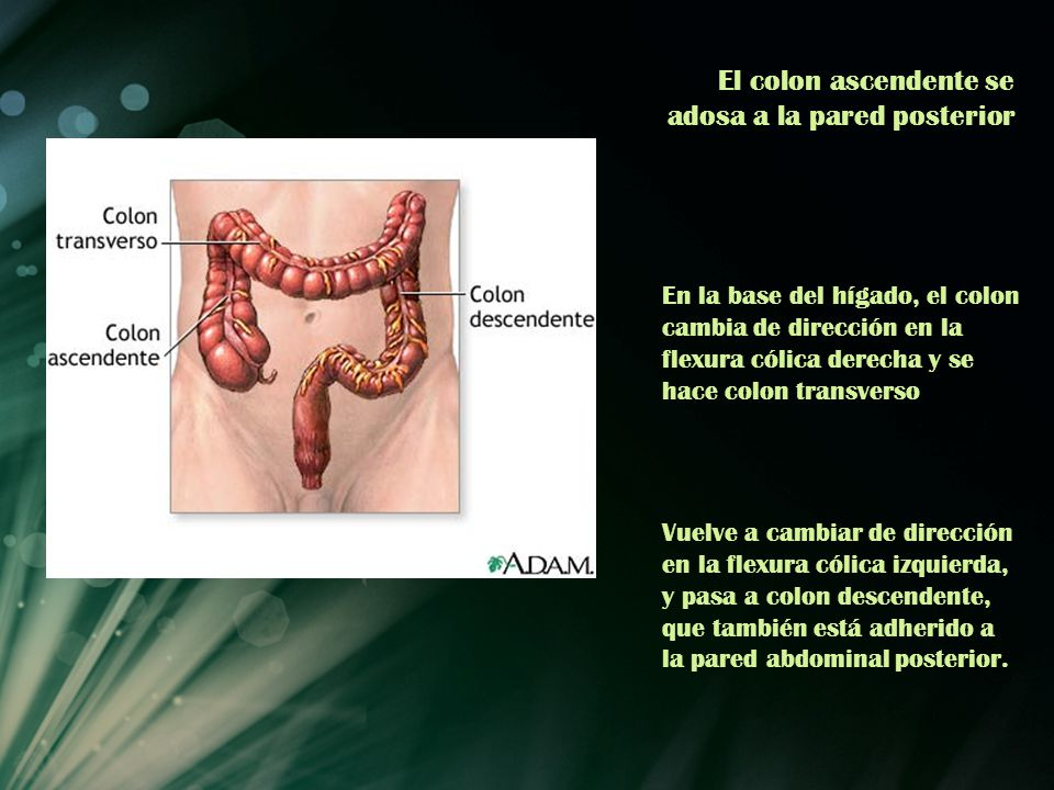 El colon ascendente se adosa a la pared posterior