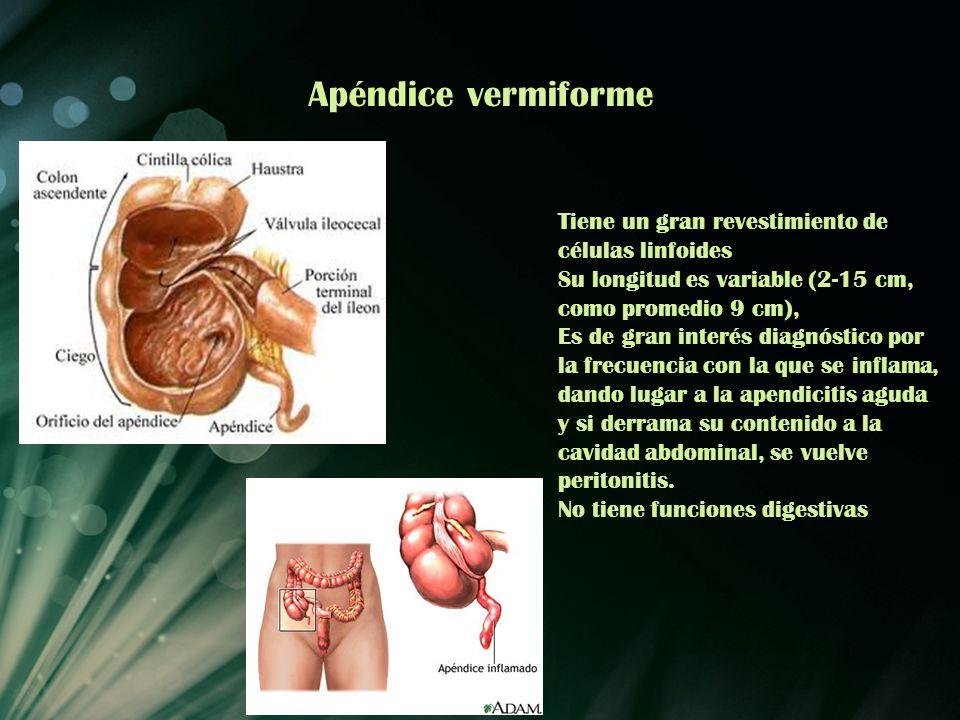Apéndice vermiforme Tiene un gran revestimiento de células linfoides