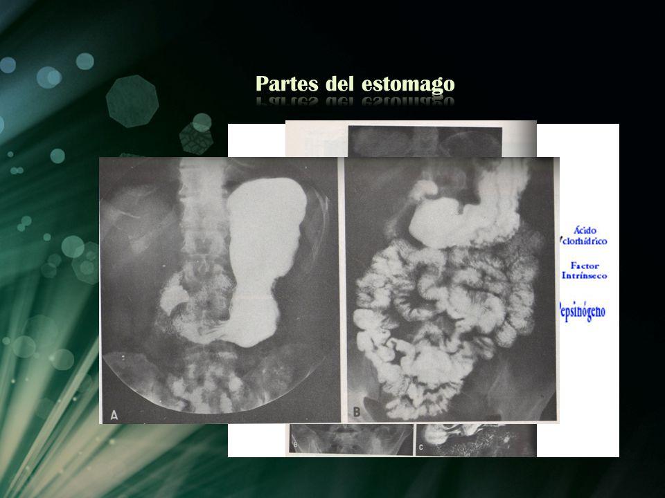 Partes del estomago
