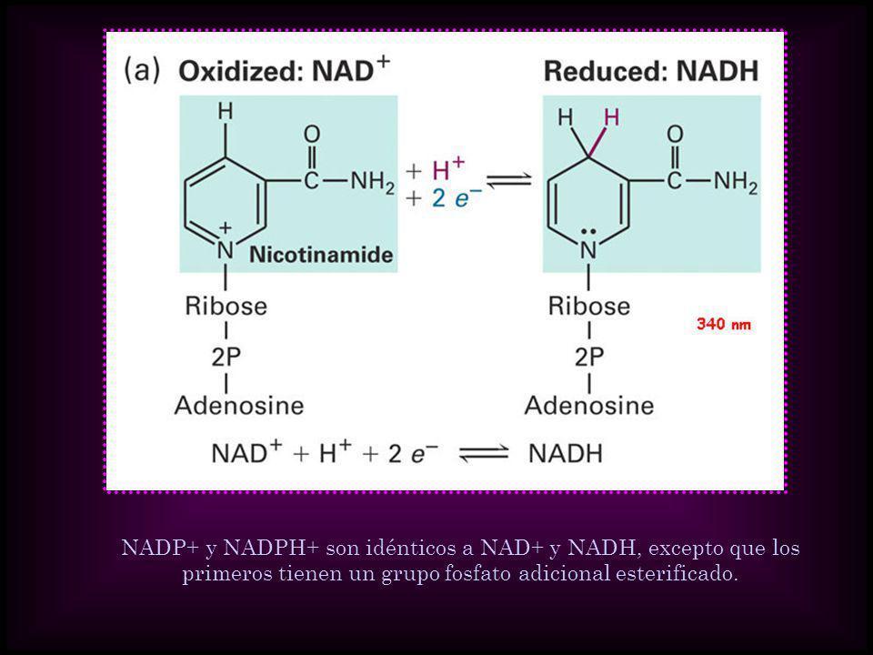 NADP+ y NADPH+ son idénticos a NAD+ y NADH, excepto que los primeros tienen un grupo fosfato adicional esterificado.