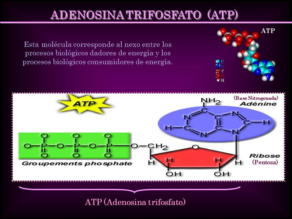 ADENOSINA TRIFOSFATO (ATP) ATP (Adenosina trifosfato)