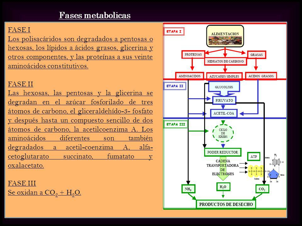 Fases metabolicas FASE I