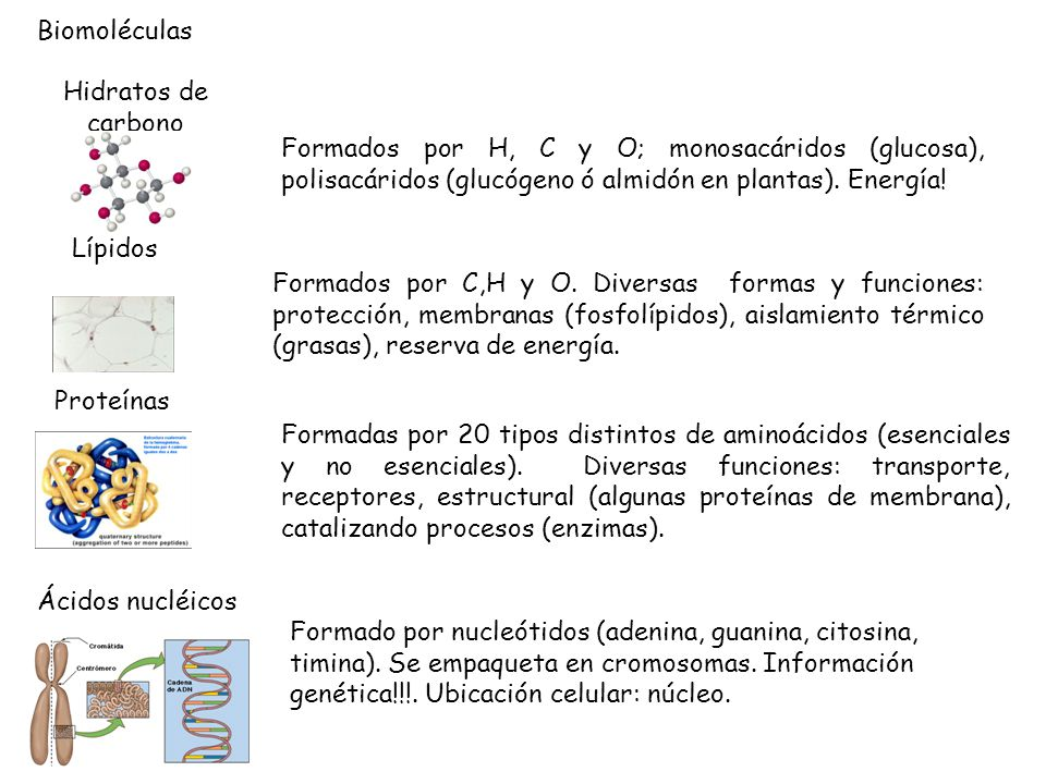 Biomoléculas Hidratos de carbono. Formados por H, C y O; monosacáridos (glucosa), polisacáridos (glucógeno ó almidón en plantas). Energía!