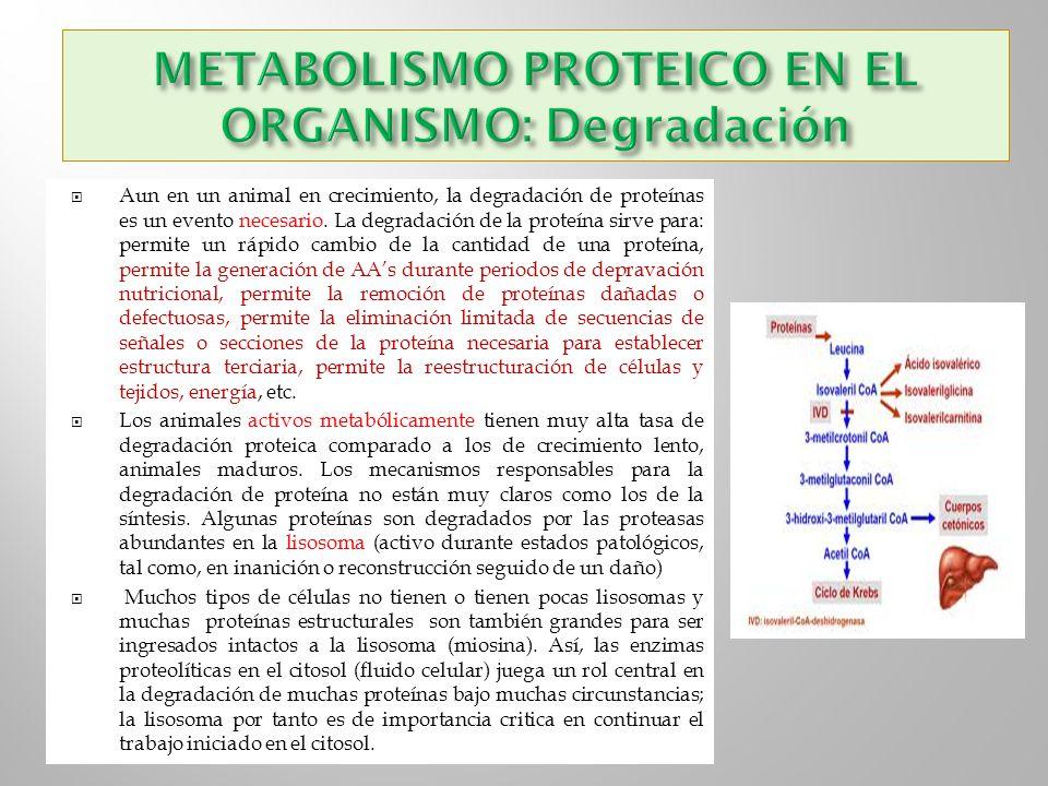 METABOLISMO PROTEICO EN EL ORGANISMO: Degradación