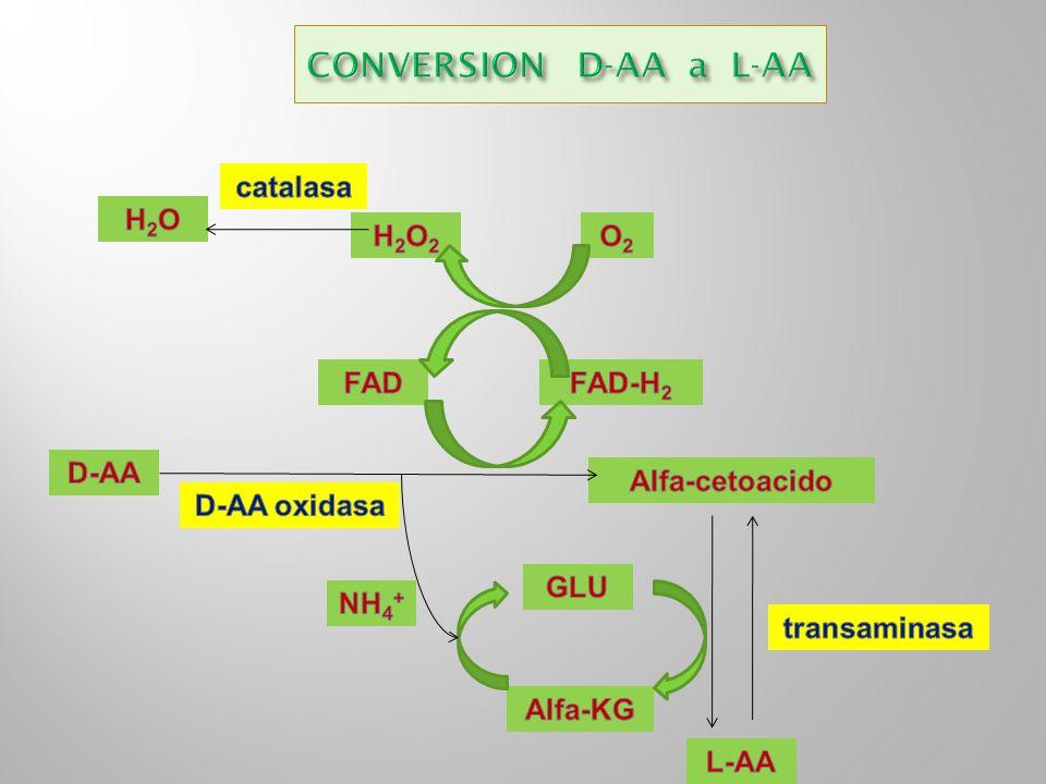 CONVERSION D-AA a L-AA catalasa H2O H2O2 O2 FAD FAD-H2 D-AA