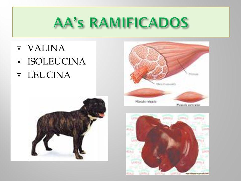 AA's RAMIFICADOS VALINA ISOLEUCINA LEUCINA