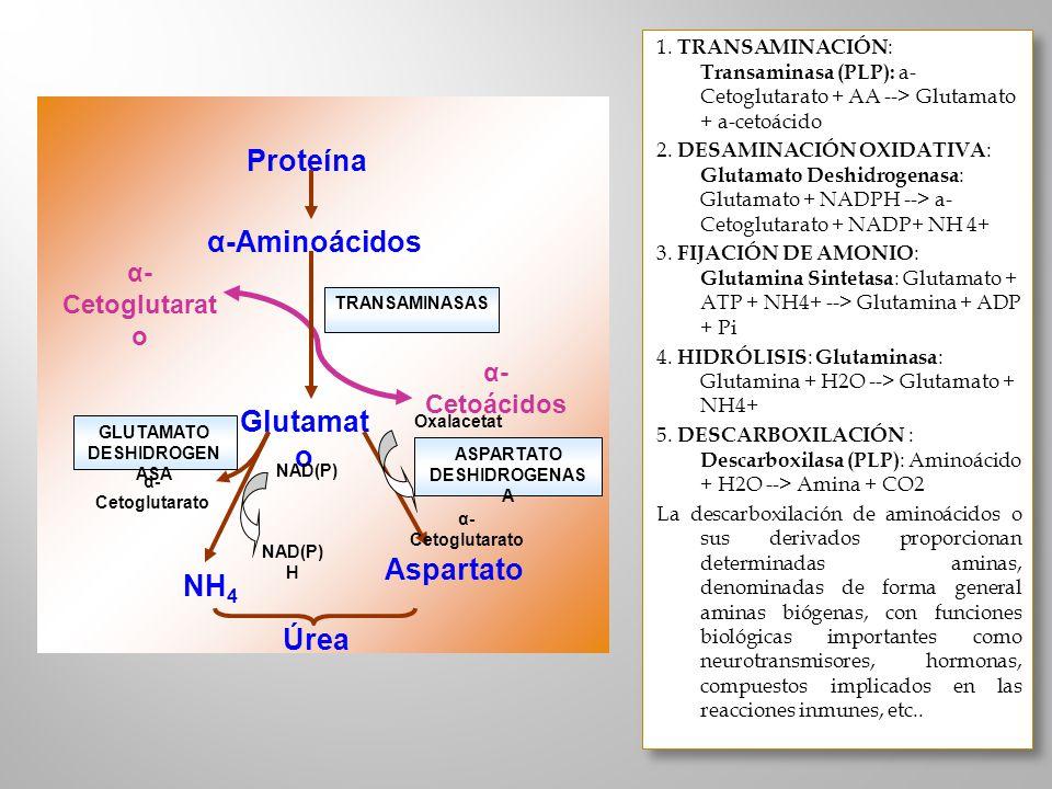 Proteína α-Aminoácidos Glutamato NH4 Aspartato Úrea