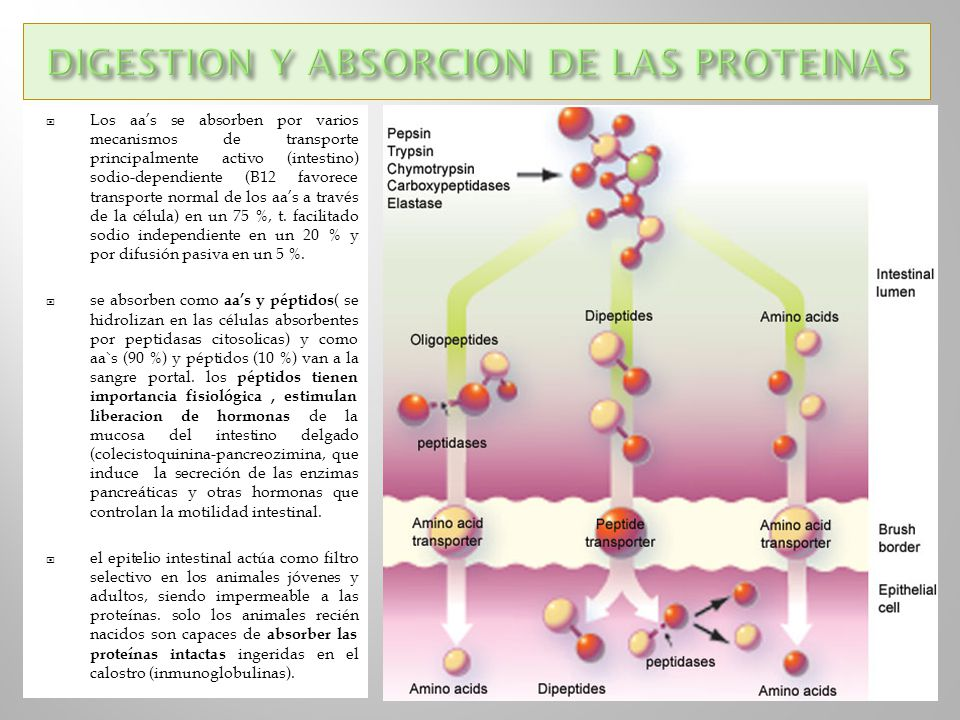 DIGESTION Y ABSORCION DE LAS PROTEINAS