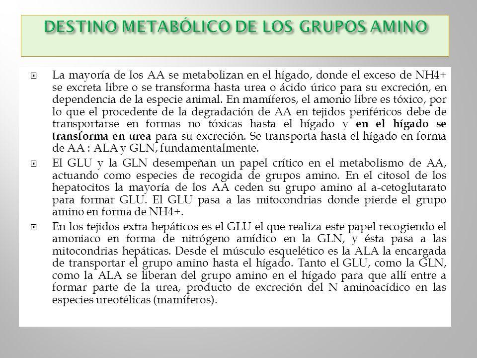 DESTINO METABÓLICO DE LOS GRUPOS AMINO