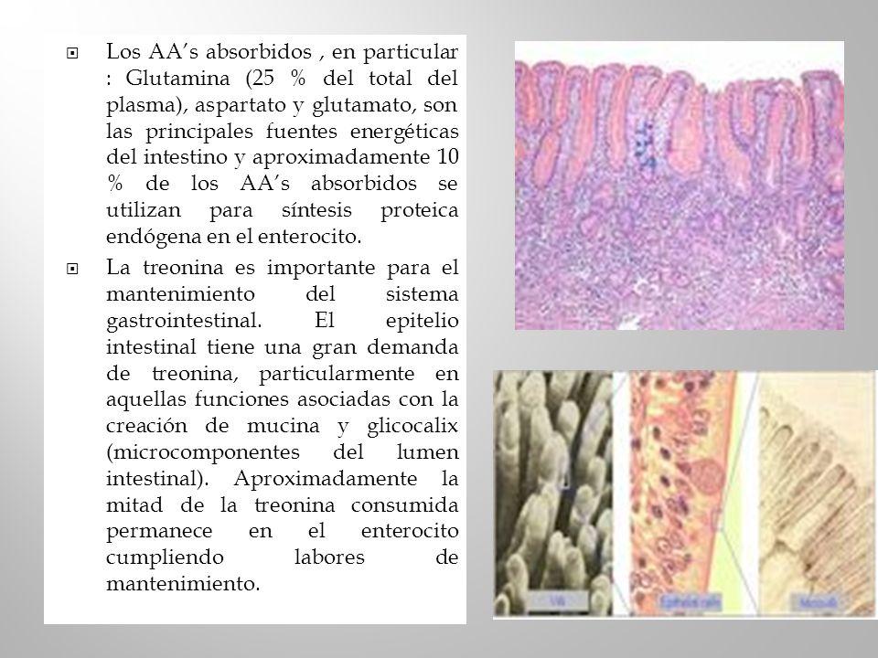 Los AA's absorbidos , en particular : Glutamina (25 % del total del plasma), aspartato y glutamato, son las principales fuentes energéticas del intestino y aproximadamente 10 % de los AA's absorbidos se utilizan para síntesis proteica endógena en el enterocito.