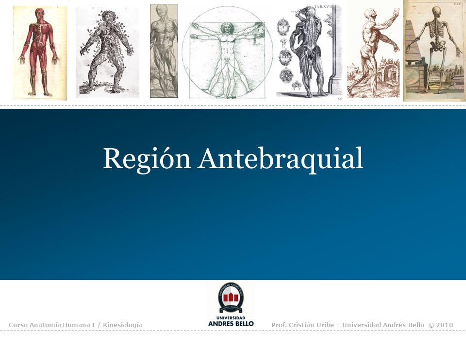 Región Antebraquial Curso Anatomía Humana I / Kinesiología