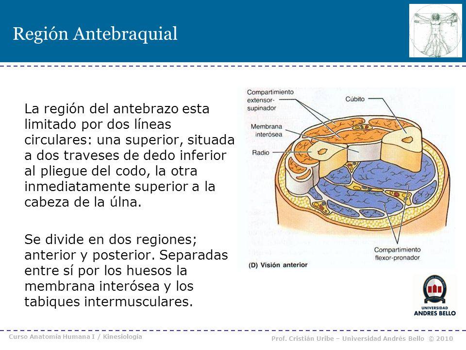 Región Antebraquial