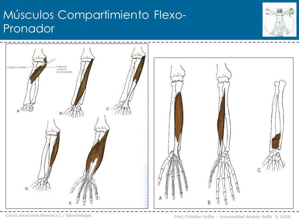 Músculos Compartimiento Flexo-Pronador