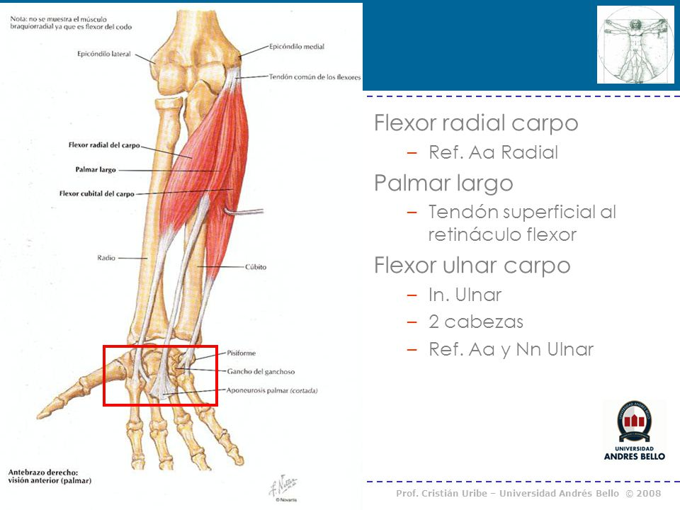 Flexor radial carpo Palmar largo Flexor ulnar carpo Ref. Aa Radial