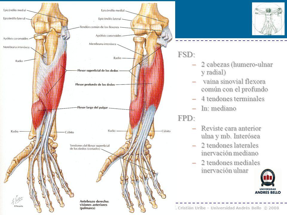 FSD: FPD: 2 cabezas (humero-ulnar y radial)