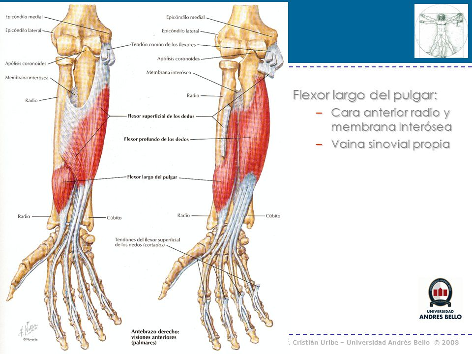 Flexor largo del pulgar:
