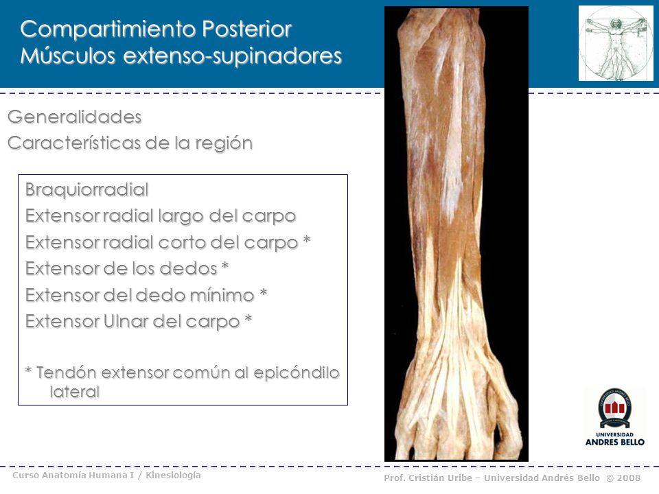 Compartimiento Posterior Músculos extenso-supinadores