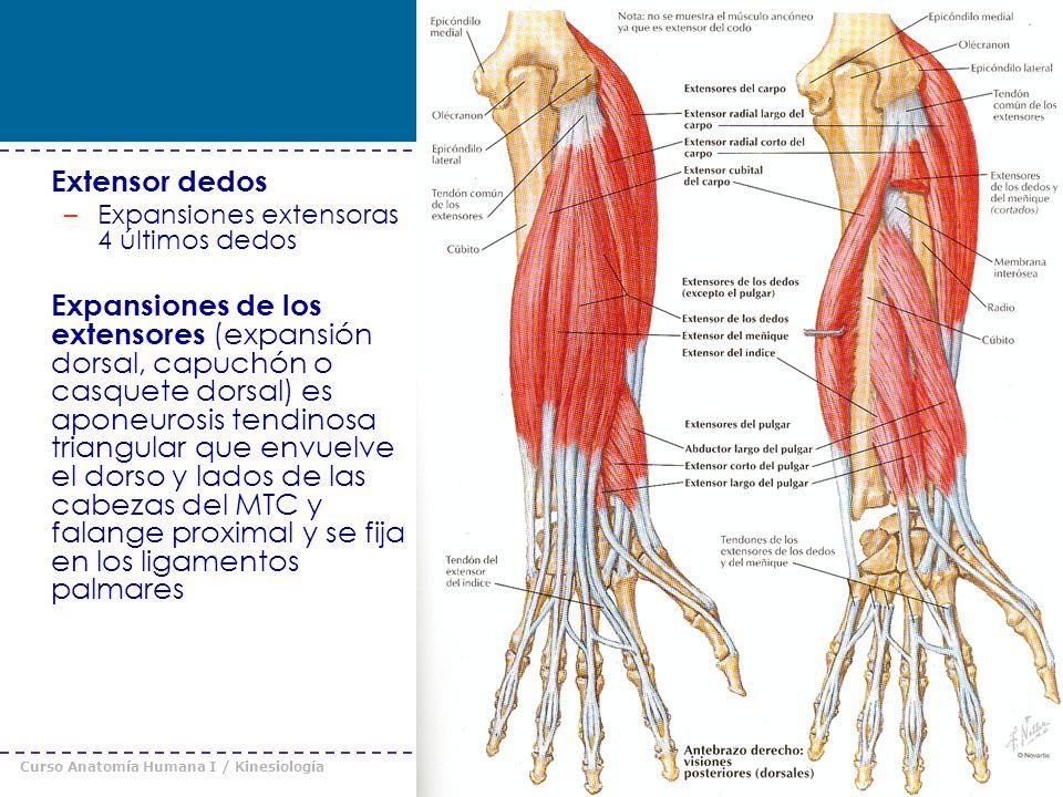 Perfecto Anatomía Del Pulgar Ideas - Anatomía de Las Imágenesdel ...