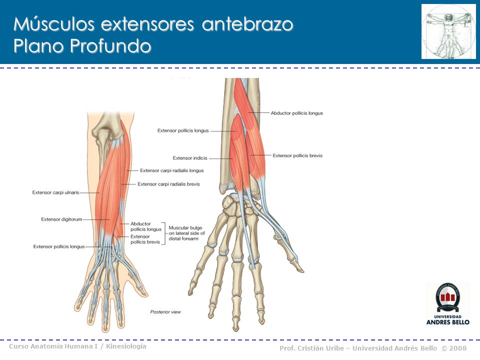 Músculos extensores antebrazo Plano Profundo