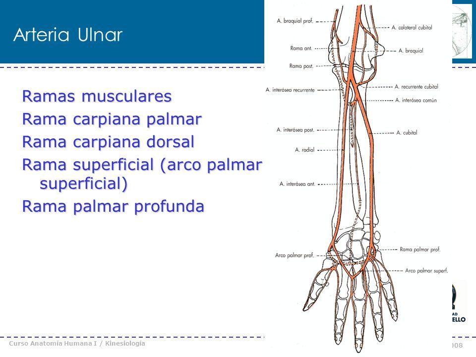 Arteria Ulnar Ramas musculares Rama carpiana palmar