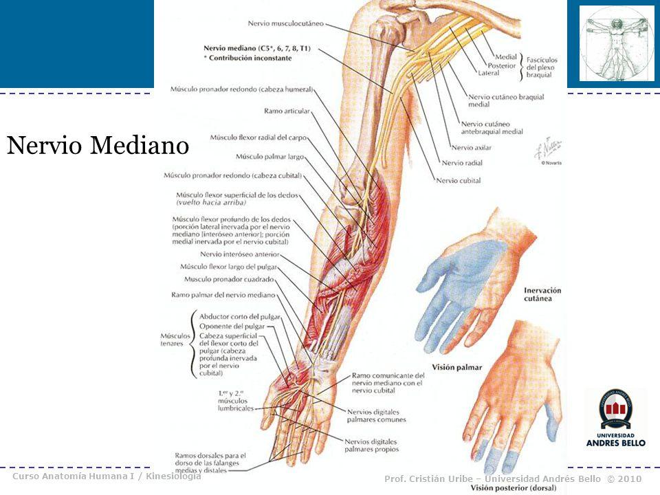Nervio Mediano Curso Anatomía Humana I / Kinesiología